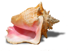Queen Conch, St John beaches