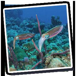 Reef squid off Waterlemon Cay on St John