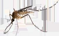 Mosquitos on St John